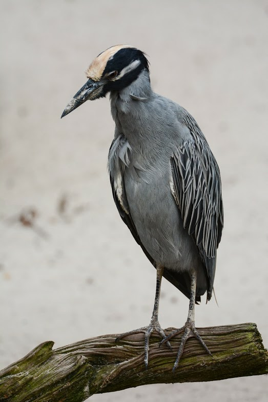 Yellow-crowned Night Heron - ślepowron żółtoczelny.