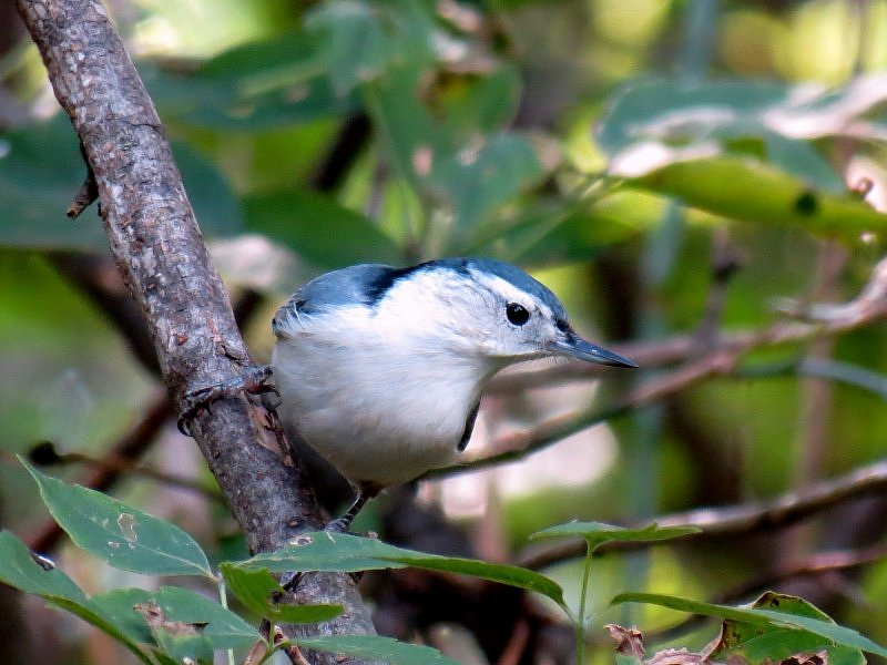 White-breasted Nuthatch -  Kowalik karoliński.