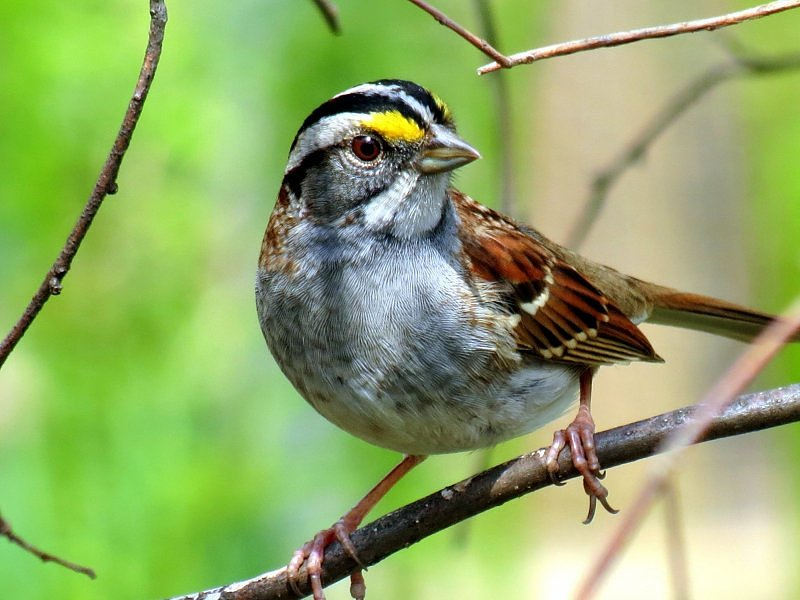 White-throated sparrow - Pasówka białogardła.