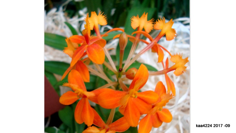 Epidendrum - ' Orange ' .