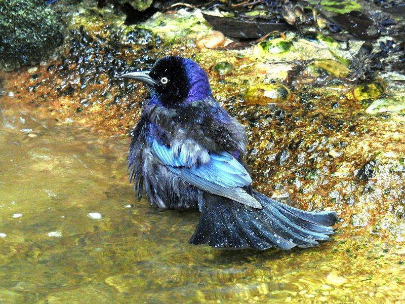 Boat-tailed Grackle - Wilgowron żaglosterny (samiec)