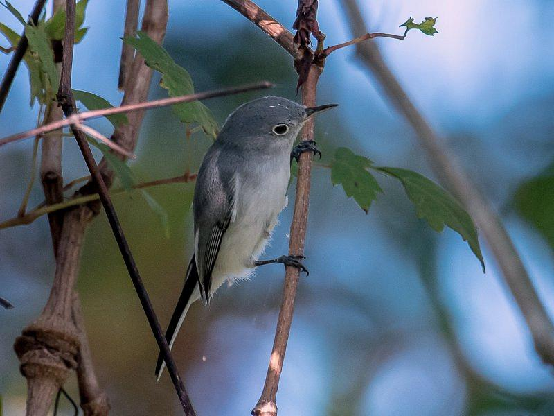 Blue-gray gnatcatcher - Siwuszka ciemnobrewa.