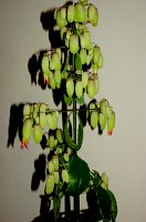 kalanchoe magic bells