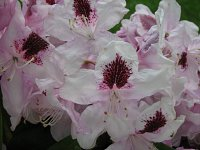 rododendron 13 06 2010r