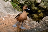 Fulvous Whistling Duck - Drzewica dwubarwna.