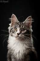 kocur maine coon < Z Oczeretów*Pl>