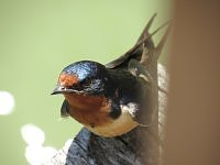 Barn swallow – dymówka.