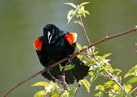 Red-winged Blackbird /Epoletnik krasnoskrzydły.