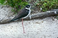 black necked stilt szczudlak
