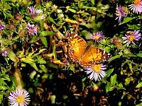 American Painted Lady.