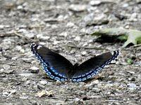 Red-Spotted Purple (1)