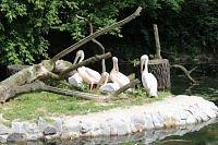 pink pelicans at warsaw zoo
