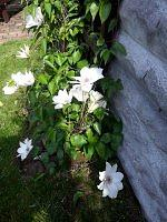 podwórkowy clematis