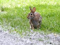 cottontail rabbit krolak
