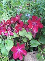 clematis, nowy zakup