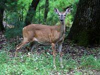 white tailed deer mulak