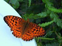 Great spangled fritillary.