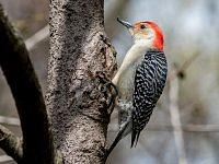 red bellied woodpecker dzieciur